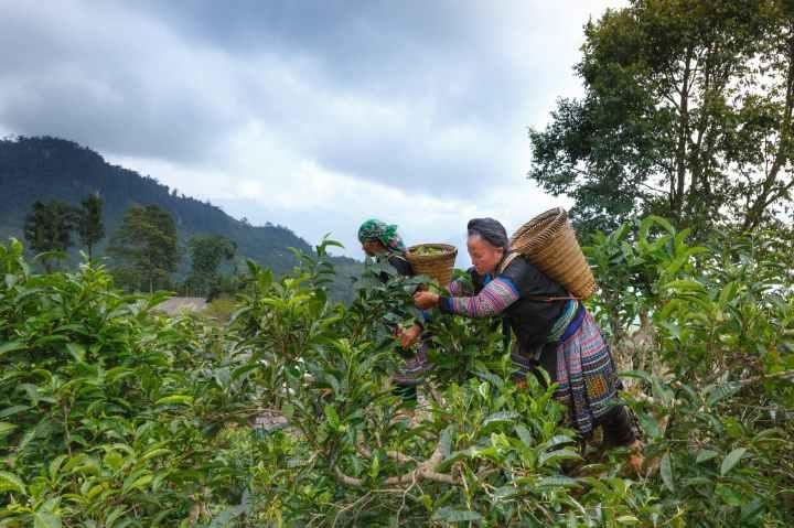 Fairtrade Fortnight Australia: ScarboroughTea